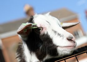 Goat - Longdown Activity Farm