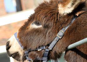 Donkey - Longdown Activity Farm